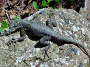 Lizard in Iguassu Falls